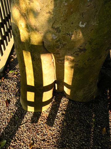 玉椿の根本